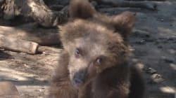 Ο Ούσκο είναι ένα σοβαρά τραυματισμένο ορφανό αρκουδάκι για το οποίο ο Αρκτούρος ζητά οικονομική