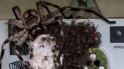Cette araignée va vous décourager d'aller en