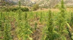 Une nouvelle série sur le cannabis bientôt en tournage au