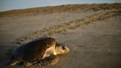 L'armée mexicaine protège les oeufs de tortues pondus sur leurs