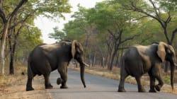 짐바브웨에서 코끼리 14마리가