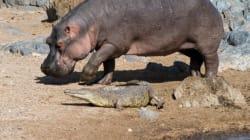 Παιχνίδια στο νερό: Ιπποπόταμος δαγκώνει την ουρά κροκόδειλου για να