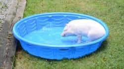 Το πιο χαζoχαρούμενο γουρούνι του ίντερνετ βουτάει στο