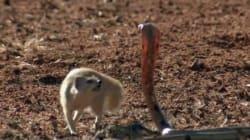 «Μαγκούστα»: Το χαριτωμένο «σκιουράκι» που έχει χαρακτηριστεί ως ο εκτελεστής της κόμπρας. Δείτε