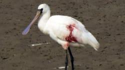 멸종위기종 저어새가 총상을 입었다(사진