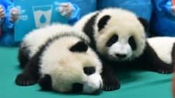 La pouponnière de ces 13 bébés pandas est l'endroit le plus mignon du