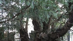 O «ίταμος του Φορτινγκέιλ». Το δέντρο ηλικίας 5.000 ετών που ξαφνικά