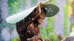 비인간인격체 여행 #3. 오랑우탄이 우산을 쓸 줄