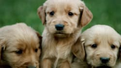 The Kennel Club Is Right on the Registration of Designer