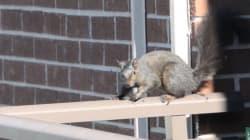이 다람쥐는 21층 아파트에서