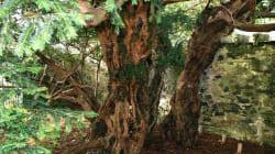 영국에서 가장 오래된 나무가 자신의 '성'(sex)을