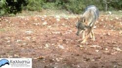 Επέστρεψαν οι λύκοι στον Εθνικό Δρυμό της Πάρνηθας, ύστερα από 50