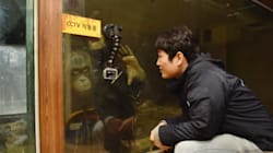 [오랑우탄 거울실험 프로젝트] 침팬지는 수화로