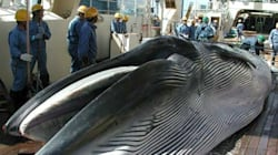 Antarctique: la reprise de la chasse à la baleine par Tokyo serait un