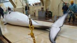 Le Japon reprend la chasse à la baleine dans l'Antarctique, bravant le tollé