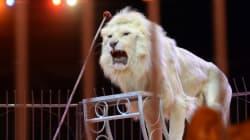 Deshalb ist das Wildtierverbot im Zirkus nicht