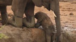 Ελεφαντάκι διασώζεται από γηραιότερους