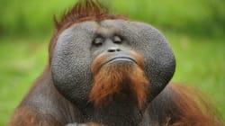 오랑우탄은 원숭이가