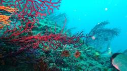 Reprise de la pêche du corail au printemps prochain après 15 ans de