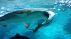 Pour le dîner, ce requin d'aquarium a englouti son