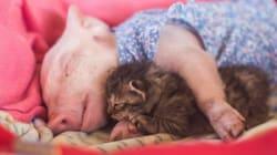 엄마 잃은 돼지와 고양이는 친구가 됐다(사진,
