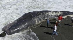 유럽에서 29마리의 향유고래가 떼죽음을