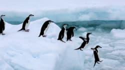 150.000 πιγκουίνοι νεκροί όταν αποκλείστηκαν από τεράστιο