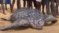 바다로 돌아가는 초 거대 거북이의 사투 속에 숨겨진