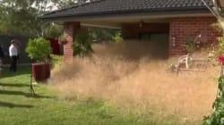 «Μαλλιαρός Πανικός» στην Αυστραλία. Λόφοι ξερών χόρτων έχουν κατακλύσει ολόκληρη