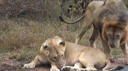 Οι πενήντα αποχρώσεις δυο λιονταριών: Πως η λέαινα έριξε