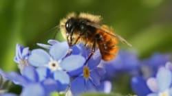 Moins d'abeilles, moins de papillons: une partie de la production agricole