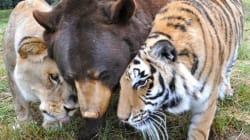 이 사자와 곰, 호랑이는 형제처럼 산다(사진,