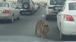 Μια τίγρης σουλατσάρει σε αυτοκινητόδρομο της
