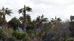 La Tunisie en guerre contre un insecte tueur de palmiers