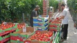 Maroc-Italie, la tomate de la