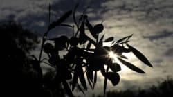 Ελιά: Tο ευλογημένο δέντρο της Ελλάδας ανάμεσα στη μυθολογία, την ιστορία, την επιστήμη και τη