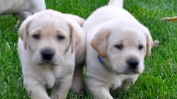 Why Banning Third Party Puppy Sales Is the Right Thing to
