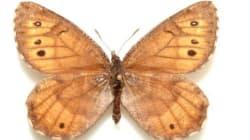 알래스카에만 사는 북극 나비가
