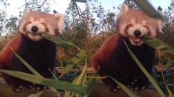 레서판다가 대나무 먹는 사진은 죽을 만큼 귀여운 데다 중요한 의미도