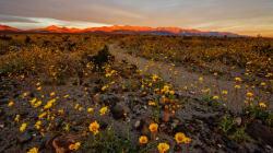 Η Death Valley της Καλιφόρνια γέμισε με εκατομμύρια λουλούδια μετά από 10