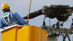 탈출한 침팬지가 전선 위로 올라가 부린 한바탕