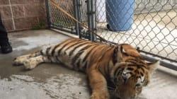 Τίγρη προκάλεσε πανικό...αλλά ήθελε μόνο να