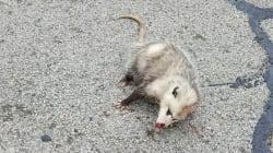 거리에서 죽어가던 주머니쥐는 새끼를 밴 상태였다(사진,