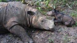 멸종위기 수마트라 코뿔소가 새끼를