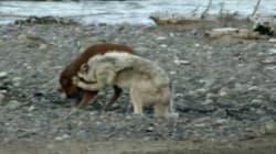Ce bébé bison remporte son combat contre un loup