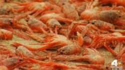 美 서부 해안가에 홍게 수십만 마리