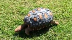 Ο Freddy είναι η πρώτη χελώνα που σώθηκε χάρη σε ένα καβούκι φτιαγμένο με 3D