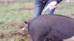 말려있는 돼지 꼬리를 한번에 곧게 펴는