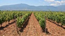 Aφιέρωμα στη Δράμα: O δραμινός αμπελώνας και τα κρασιά της