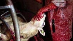 산 채로 목 따는 할랄도축, 동물학대? 종교의
